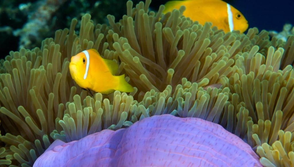 underwater-clownfish-sea-anemone